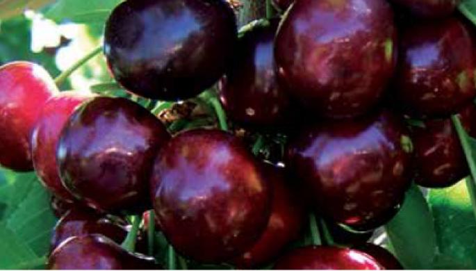 FRISCO sweet cherry