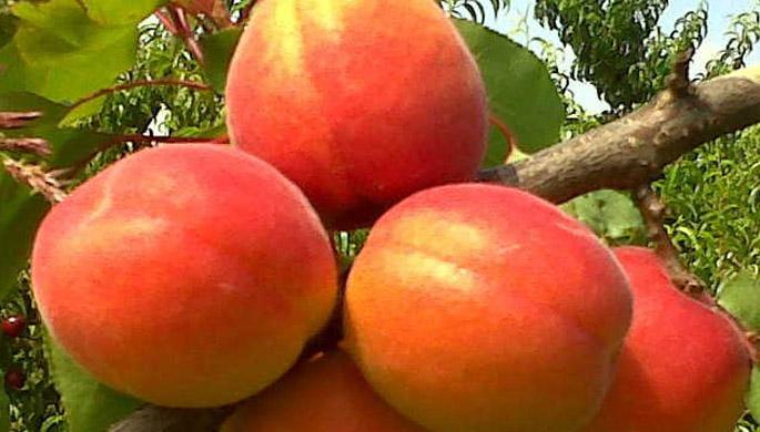 Kioto apricot