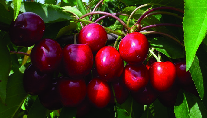 PACIFIC RED sweet cherry