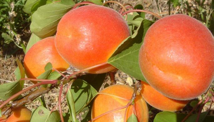 Pinkcot Cotpy Apricot