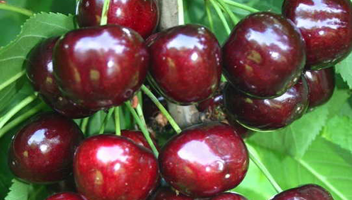 sweet cherry Big Star