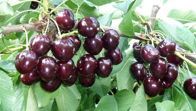 Kordia sweet cherry