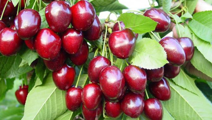 Sabrina sweet cherry